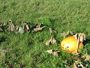 Anne's giant pumpkin shining in the sun