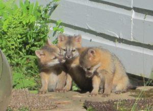 A family of grey foxes lived under the farmhouse, attracting lots of attention from local wildlife photographers.