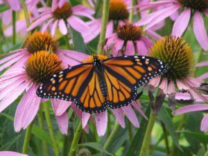 butterfly-300x225